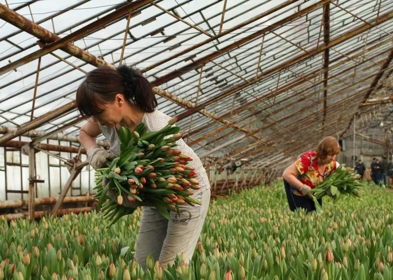 Выращивание цветов в теплицах